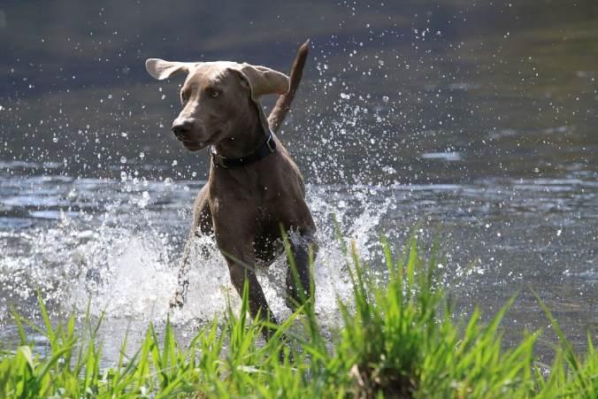 Weimaraner splashing in a lake