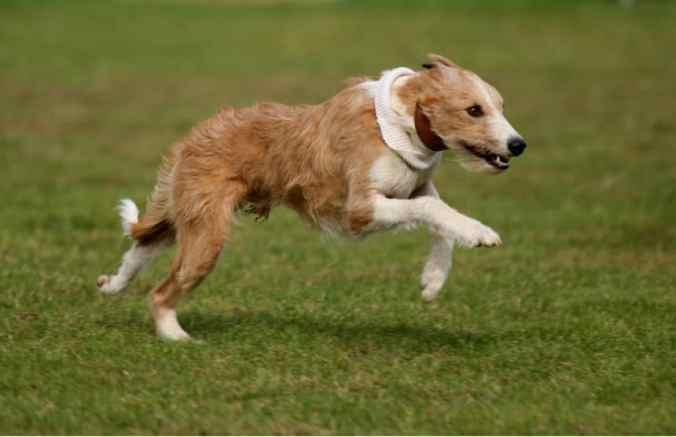 Lurcher running fast in a field