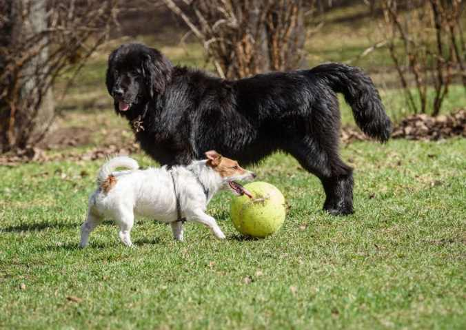 Newfoundland dog plays with another dog