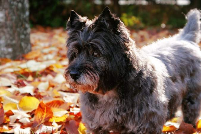 Cairn Terrier looking sad standing in a pile of autumn leaves