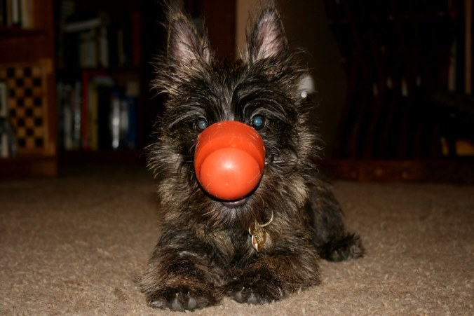 Cairn Terrier puppy exercise