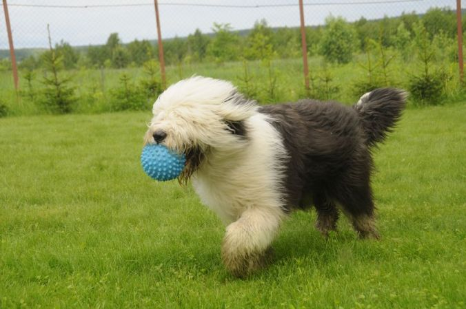 Old English Sheepdog holding his toy in his mouth playing in a grassy field