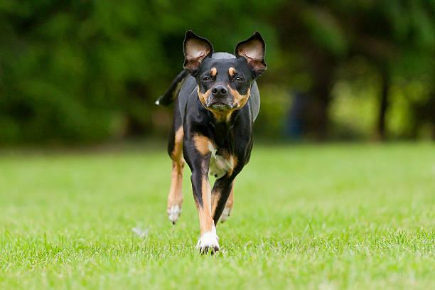 Miniature Pinscher Running on green grass