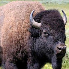 Bison - Wildlife of Jackson Hole and Grand Teton
