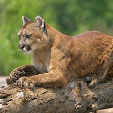 Cougar - Wildlife of Jackson Hole and Grand Teton
