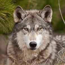Wolf - Wildlife of Jackson Hole and Grand Teton Ntl Park