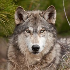 Wolf - Wildlife of Jackson Hole and Grand Teton Ntl Park