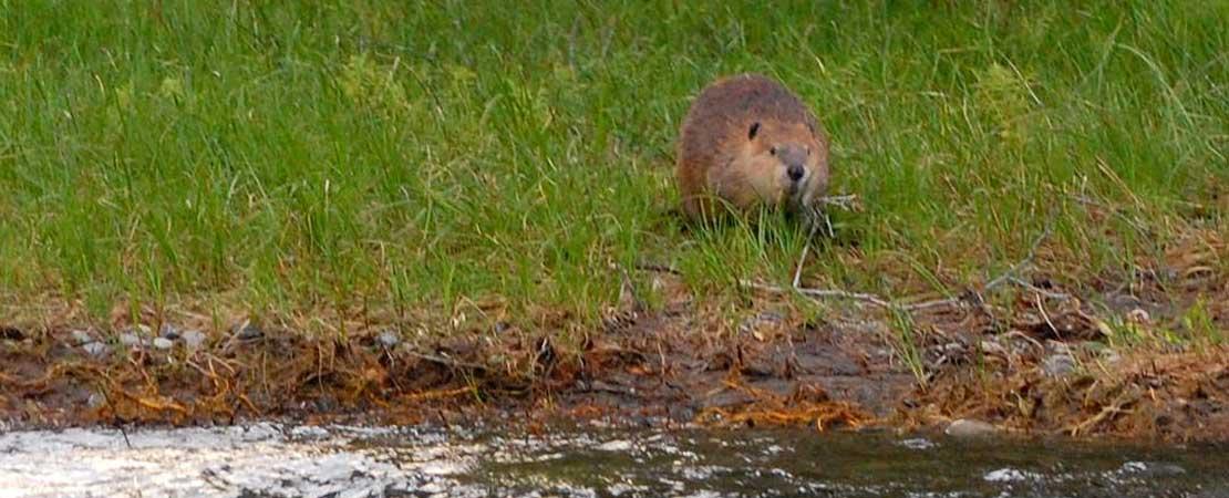 Beaver on Snake River bank - photo taken on a Barker Ewing Grand Teton Scenic Float Trip