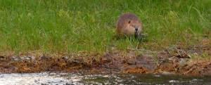 Beaver on Snake River bank - Barker Ewing