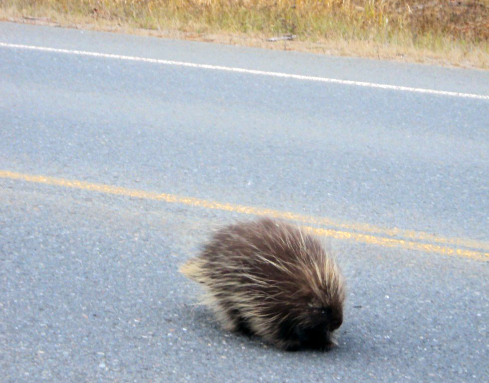 porcupine crossing road - Grand Teton National Park wildlife
