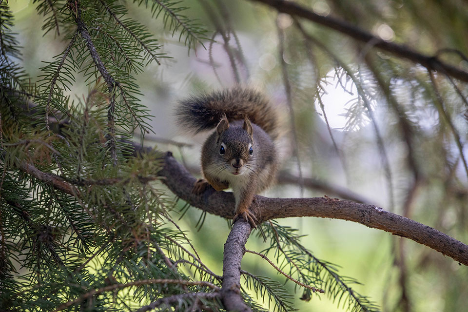 Pine Squirrel - Grand Teton Rafting