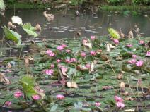 Lotus flower Wuyi University