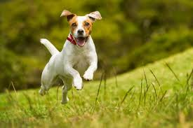 Happy dog running in the fields