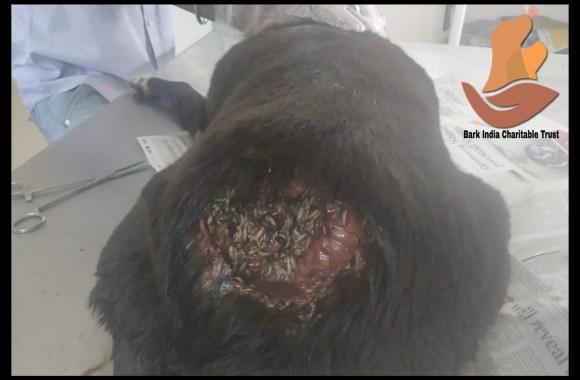 Maggoty street dog rescued