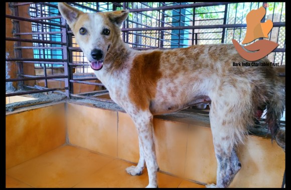 TVT Dog Rescue and Treatment in Pondicherry