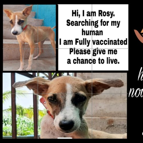 Puppy for adoption- Do not buy dogs while homeless dogs die- Rescue centre and hospital for street animals