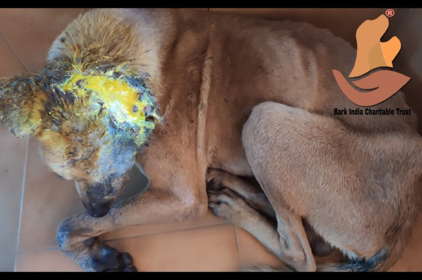 Maggot wound dog rescue and treatment- Dog rescue and treatment