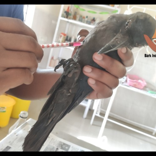 Sick Crow Rescue- Bird Rescue and Treatment in Puducherry