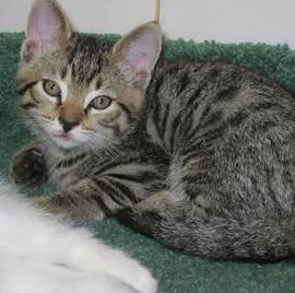 Castor - male short-hair tabby kitten