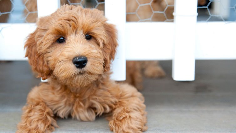 15 Dog Breeds That Dont Shed Much And Are Hypoallergenic