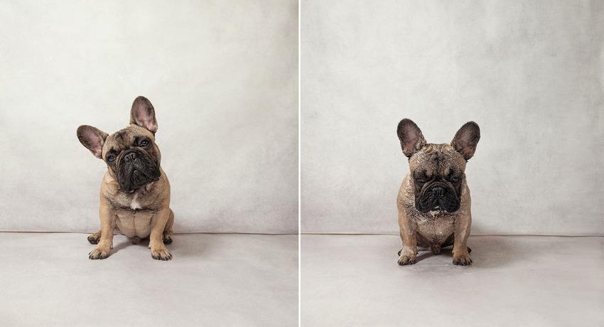 garfunkel_french-bulldog
