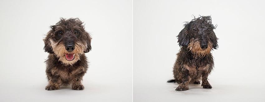 henri_wire-dachshund