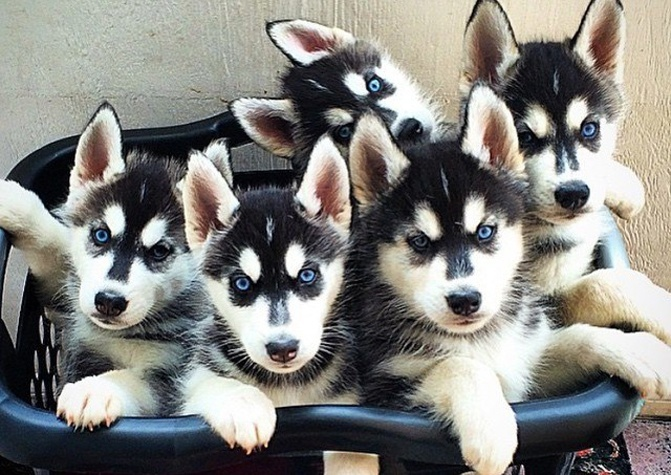 Cute Husky Puppies With Blue Eyes Wallpaper 11 Things Only Husky Pup Parents Understand Barkpost