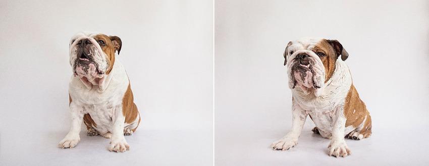 simon_british-bulldog