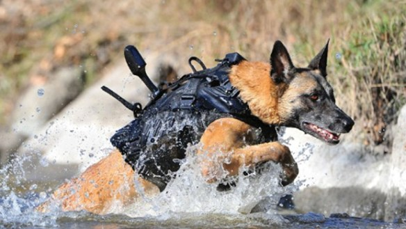Belgian Malinois running through a stream of water with all his harness on.