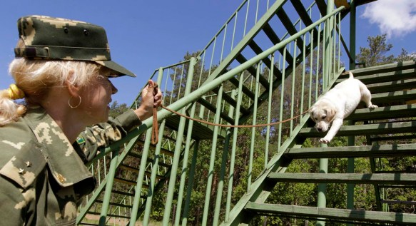 Military woman training lab puppy to climb up and down stairs.