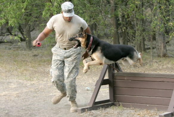 Military dog in the middle of jumping a hurdle as a man holds a kong toy to get the dog motivated.