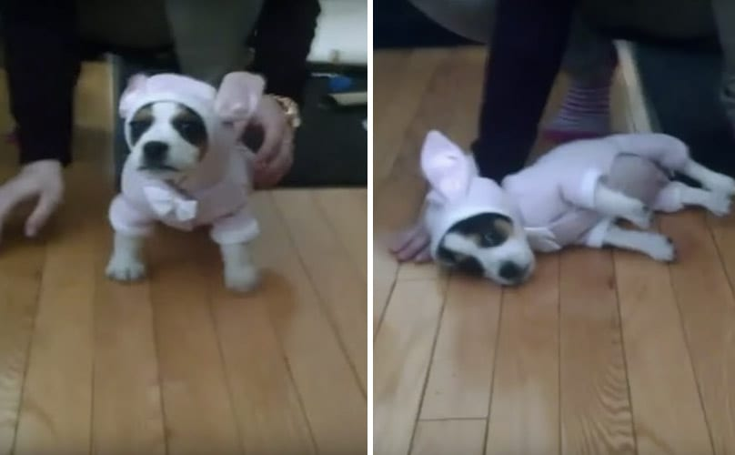 This Puppy's Bunny Costume Makes Him Forget How To Puppy