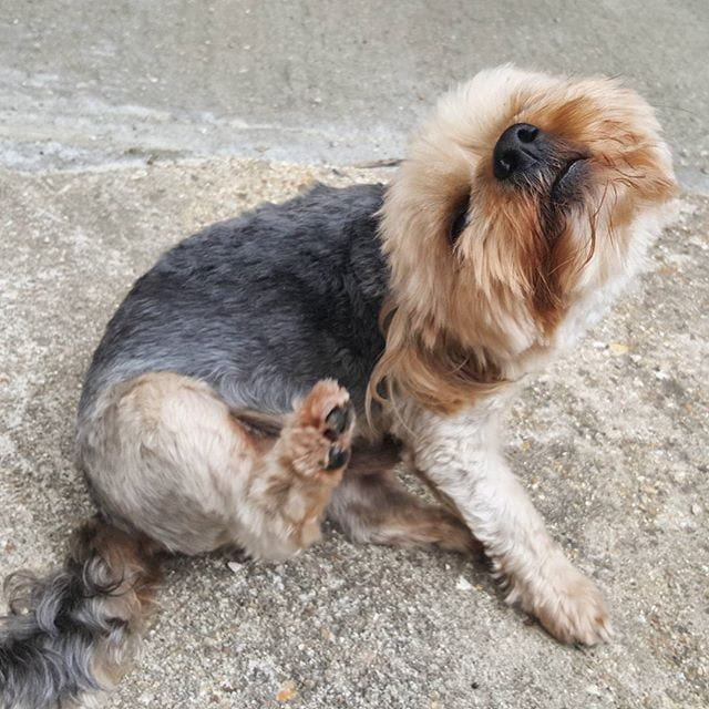 can dog fleas live in sofas fc copenhagen sofascore 15 surprising allergies - barkpost