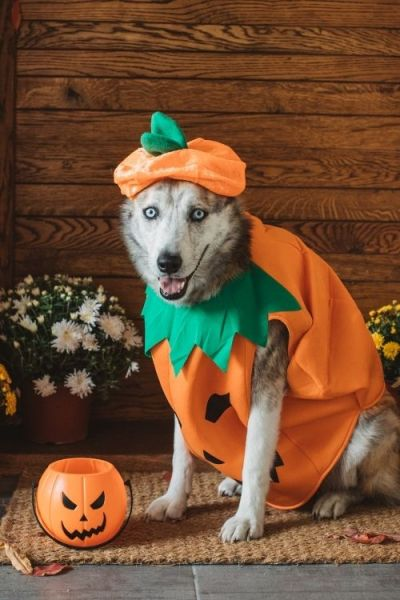 dog dressed up in a pumpkin costume for Halloween.