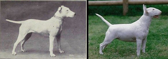 dog evolution, dog breeder, bull terrier, apbt, pitbull, dog advice, dog help, dog advice, dog enthusiasts, canine guide, evolution of canines, dog breeds history