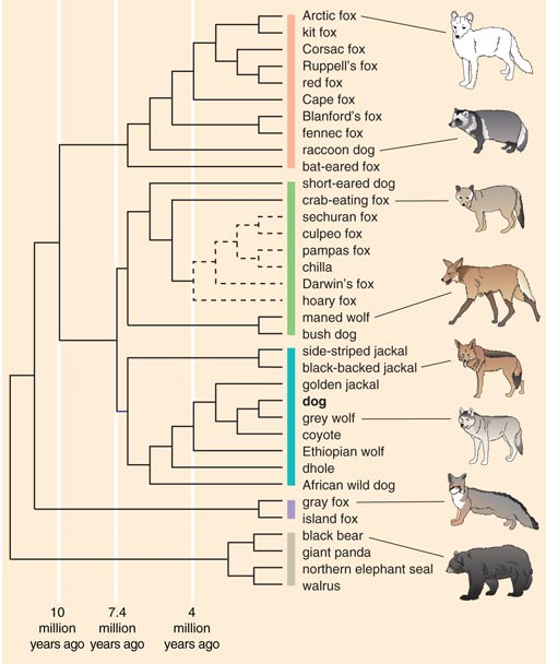barkthink, canind genetic sequence, dog dna genetics, dog research information, pet care research, difference between a dog and a wolf, are foxes dogs and wolves related, canine species, dog ancestors, dog ancestry, canine genetics, what did dogs evolve from, evolution of dogs