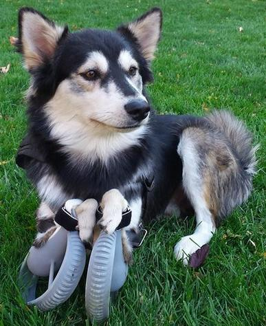 barkthink, pet care, prosthetic legged dogs, 3d printing canine pets, dog information, Australian cattle dog, german spitz, special needs dog, dog running, dog technology