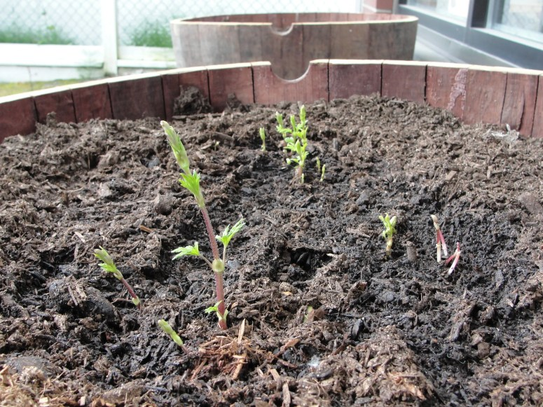 Hop plants Sprouting