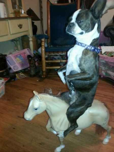 boston terrier riding toy horse