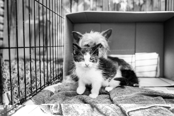 Abandoned-Mama-Yorkshire-Terrier-looking-after-two-kittens-like-her-own-kids.3