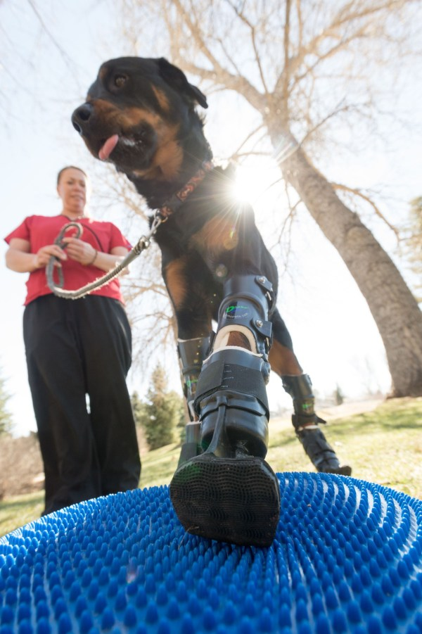 Brutus at a therapy session with Sasha Foster, CSU certified canine rehabilitation therapist