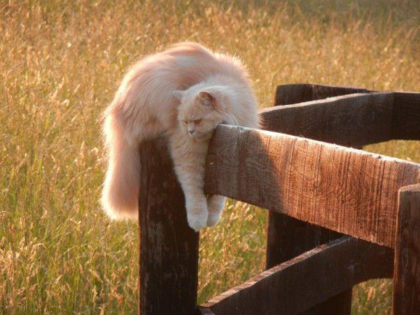Lazy-Cat-On-A-Fence