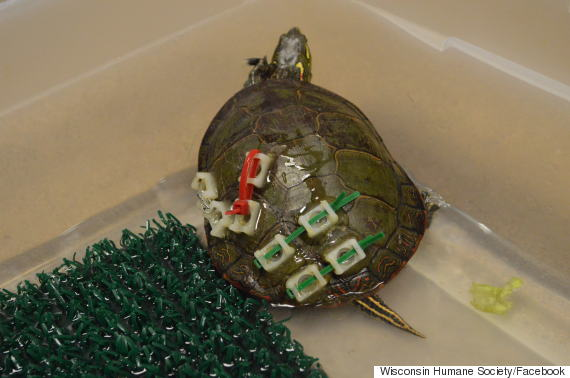 repair the turtle shell