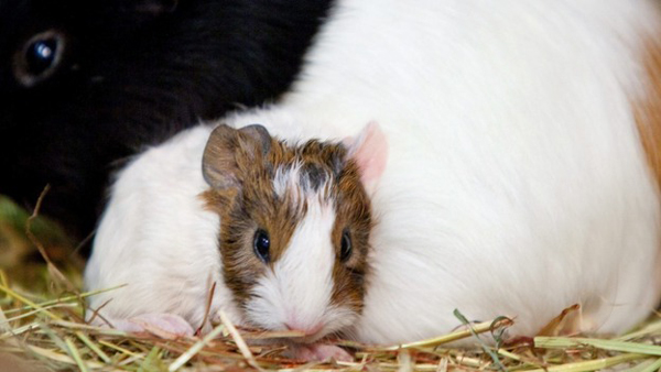 randy guinea pig set to become father to 400 after sneaking into female enclosure.3