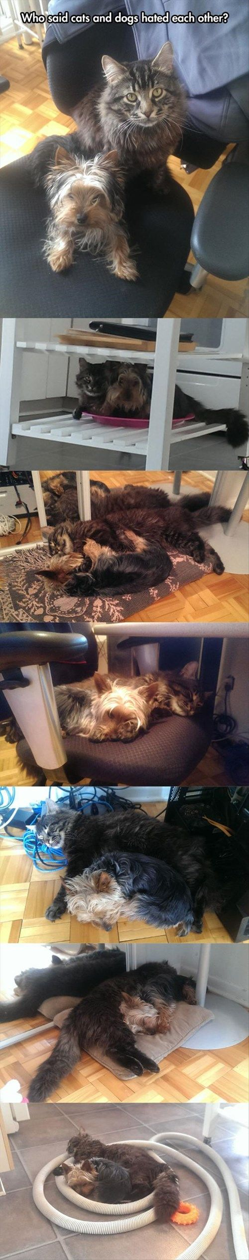yorkie and cats 10