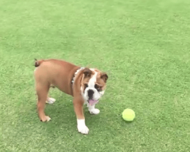 english bulldog fetch