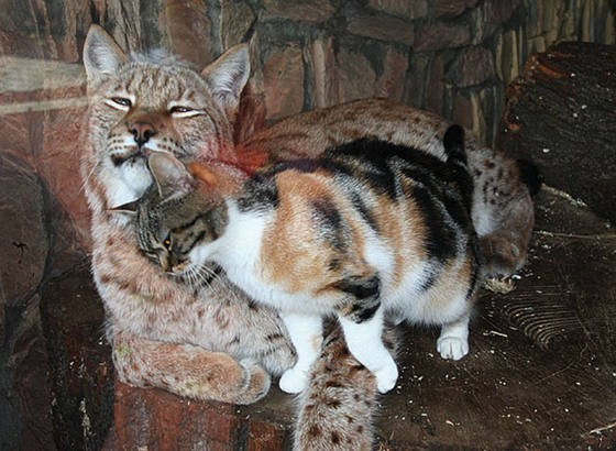 cat and lynx 2