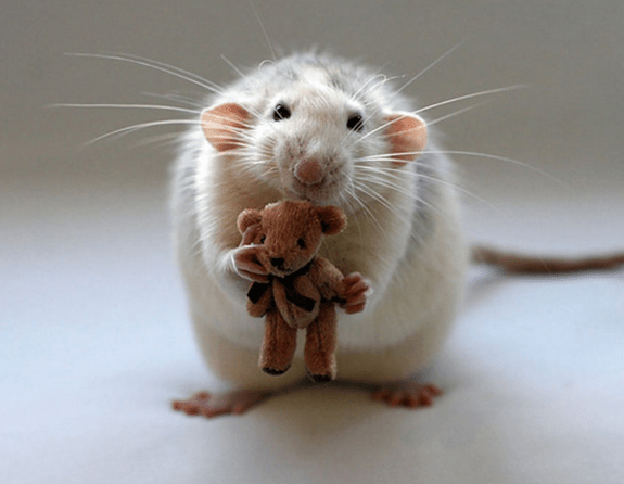 rats and teddy 12