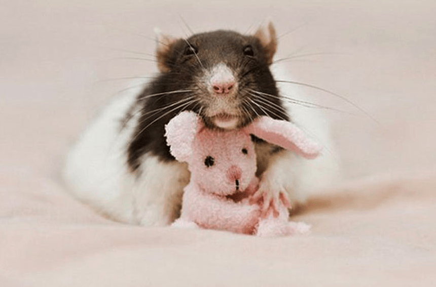 rats and teddy 7