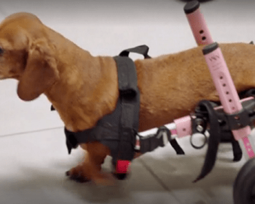 dachshund with wheels